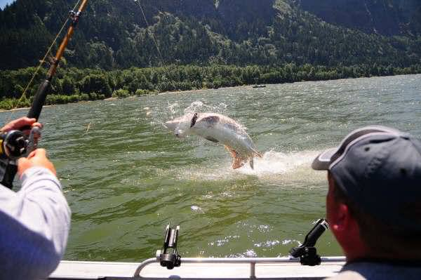 columbia river sturgeon salmon walleye fishing guide portland oregon